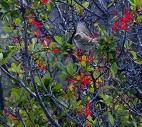 Oiseau au Perito Moreno