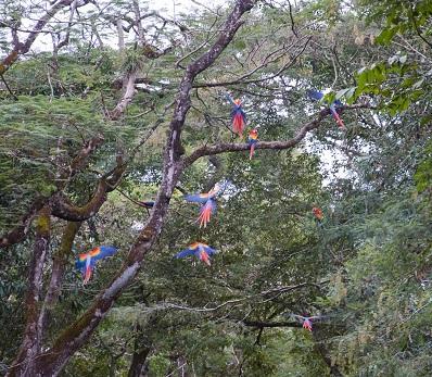 perroquets à Copàn
